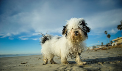 Havanese dog standing on Del Mar dog beach with blue sky