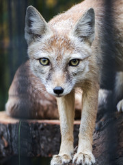 A small fox in a cage looks at the camera. Artistic blurring of the rods of the cell. This look.