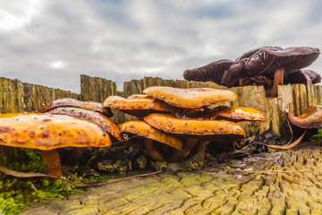 Families of ginger and purple mushrooms on a tree stump. Photo for the site about nature, forest and mushrooms.
