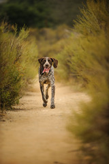 German Shorthair Pointer dog outdoor portrait running on natural path with bushes