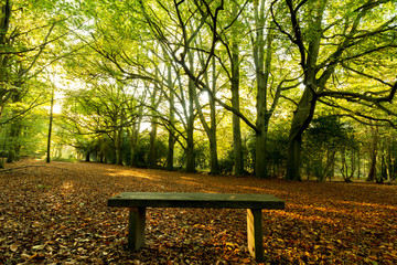 beech trees and bench in autumnal sunlight