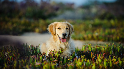 Golden Retriever dog in field of ice plant