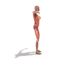 A female body anatomy for books 3d ilustration on white