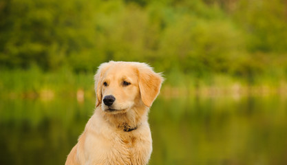 Golden Retriever puppy dog by water and nature
