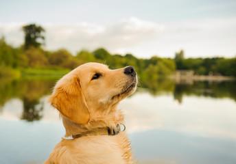Golden Retriever puppy dog portrait by pretty lake