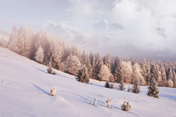 Sunny morning scene in the mountain forest. Bright winter landscape in the snowy wood, Happy New Year celebration concept
