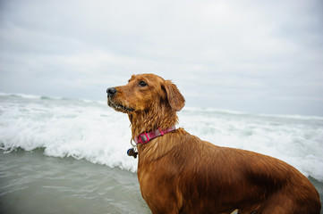 Golden Retriever portrait by ocean waves