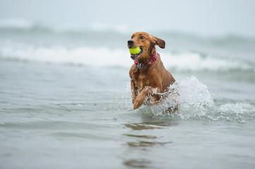 Golden Retriever running out of ocean with ball