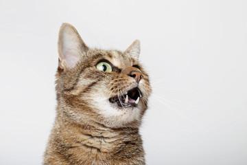 chat tigré brun marron tabby miaulant