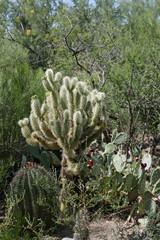 Typische Pflanzen der Sonora-Wüste wie Cholla, Prickly Pear und Barrel Cactus Typische Pflanzen der Sonora-Wüste wie Cholla, Prickly Pear, Barrel Cactus und Mesquite