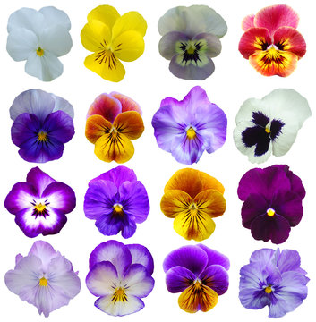 16 Pansies flowers on White background