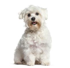 Fototapete - White Maltese dog, panting and sitting, isolated on white