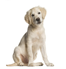 Golden Retriever dog, sitting, isolated on white