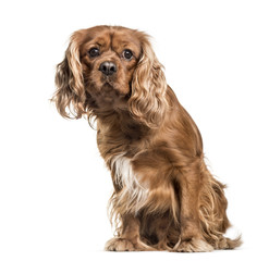 Brown cavalier King Charles Spaniel dog, sitting, isolated on wh