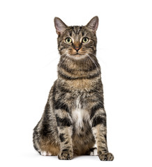 Striped mixed-breed cat sitting, isolated on white, (2 years old