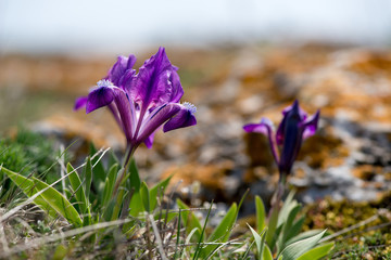 Wild Iris - selective focus, copy space