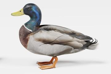 Realistic 3D Render of Duck