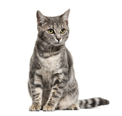Wall Mural - Grey stripped mixed-breed cat sitting, isolated on white