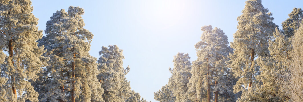 panoramas in the winter forest of pine trees are covered with frost
