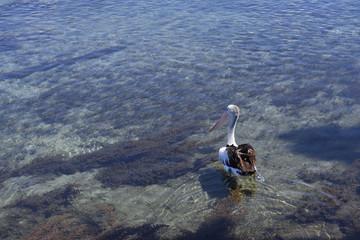 Pelikan im seichten Wasser schaut nach links mit Blick auf die Wasserpflanzen Unterwasser