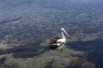 Pelikan im seichten Wasser schaut nach rechts mit Blick auf die Wasserpflanzen Unterwasser