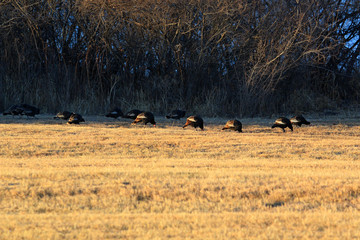 Group of wild turkeys strutting in the golden sunrise