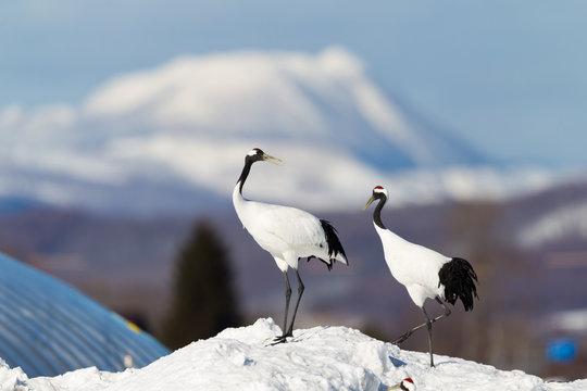 Japanese red head Tancho cranes in Hokkaido, Japan