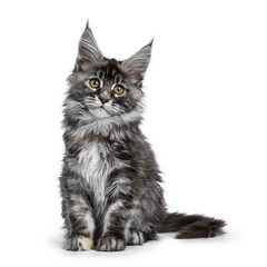 Tortie multi colored Maine Coon kitten / cat sitting facing front isolated on white background looking to camera