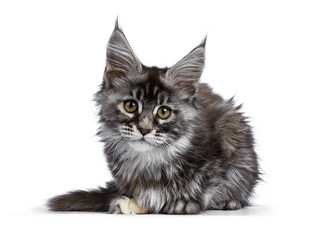 Tortie multi colored Maine Coon kitten / cat laying down facing front isolated on white background looking straight into camera