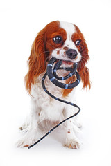 Dog with snake. Dangerous snake or snake danger illustration. Toy snake with dog studio photo for your concept. Cavalier king charles spaniel cute photo.