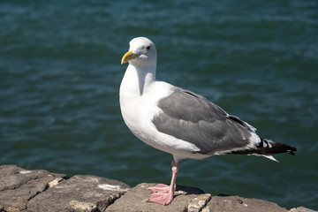 Seagull and Water