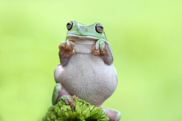 frog boxing, tree frog, animal,