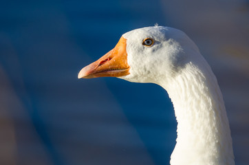 Close Look at the Profile of a White Goose