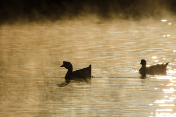 Silhouetted Geese Quietly Swimming in the Early Morning Mist