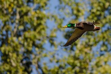 Mallard Duck Flying Past the Autumn Trees
