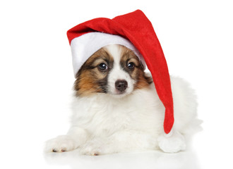 Papillon dog puppy in Santa hat on white background