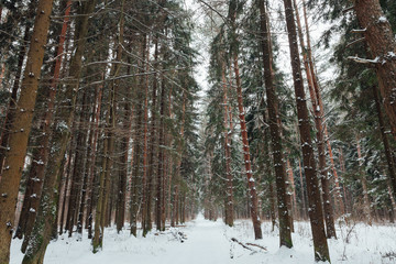 Winter forest in Russia