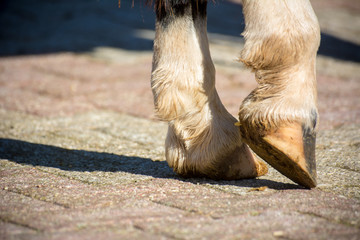 Close Up Of Clear Hooves Of A Standing Horse