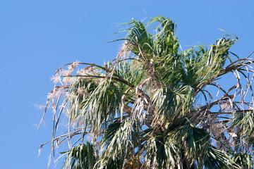 Top canopy of a date palm tree phoenix dactylifera