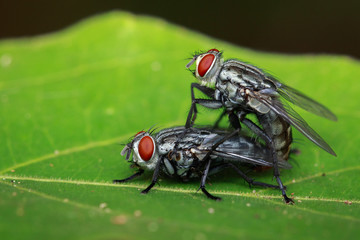 Image of mating flies on green leaves. Insect. Animal