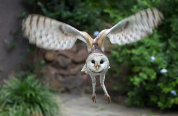 Barn Owl Raptor Bird  Flying