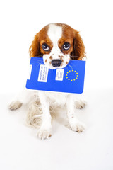 Dog with pet passport immigrating or ready for a vacation. King Charles spaniel carry animal id passport. Dog passport concept isolated on white background. Cavalier spaniel studio photo illustration