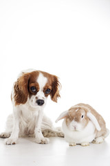 True animal friends. Real dog and lop together. Cavalier king charles spaniel dog with live orange rabbit loves each other. Animal friendship illustration. Cute.