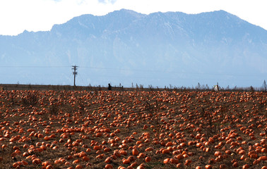 Nathan Harris hunts for last minute Halloween pumpkins on Halloween Day with the Continental Divide in the background in Broomfield