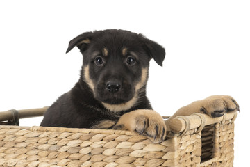 german shepherd puppy in basket isolated on white