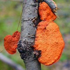red pycnoporus cinnabarinus mushroom