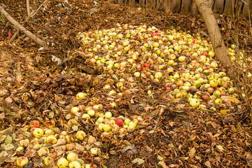 Apples lie on the ground in autumn
