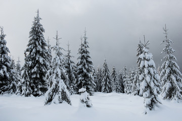 Winter trees covered by snow in the mountains