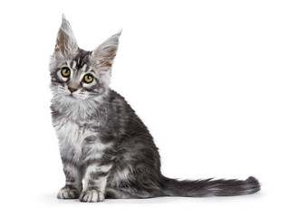 Black silver tabby Maine Coon cat kitten sitting side ways isolated on white background  looking at camera