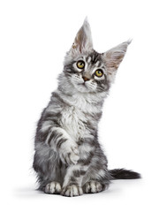 Black silver tabby Maine Coon cat kitten sitting isolated on white background with right front paw lifted and looking up